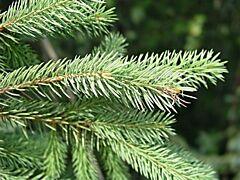 Éterický olej SMREK sibírsky ihličie Eoné - 10 ml